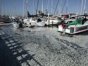 Emri:  pesci-morti-california-300x225.jpg  Shikime: 810  Madhësia:  33.0 KB