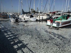 Emri:  pesci-morti-california-300x225.jpg  Shikime: 820  Madhësia:  33.0 KB