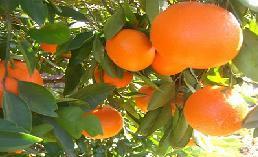 Emri:  Mandarine.jpg  Shikime: 8043  Madhësia:  12.0 KB